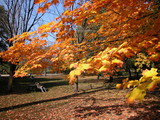 maple tree in fall poster