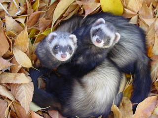 ferrets in leaves