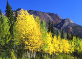yellow birch trees and tall mountains poster