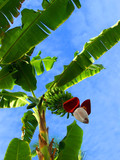 banana tree against the sky poster