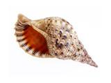 big seashell isolated poster