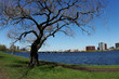 tree by the charles river in boston