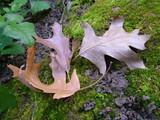 leaves, moss, leaf poster