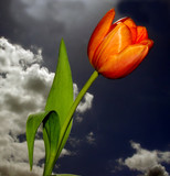 beautiful tulip against the stormy sky poster