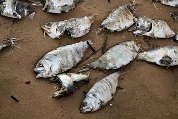dead fish on a beach