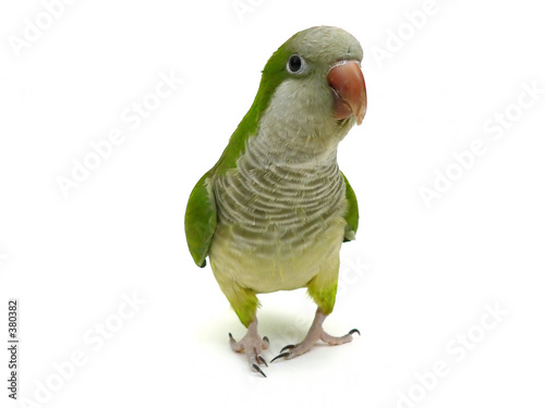 Tuinposter Papegaai quaker parrot isolated on white
