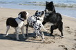 3 dogs playing on the beach