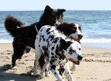 3 dogs running on the beach poster