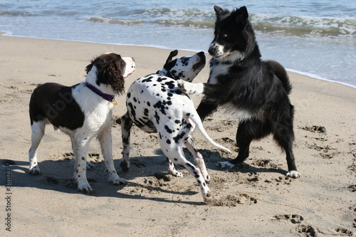 poster of 3 dogs playing on the beach