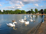 child feeding swans in london, hyde park poster