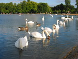 swans in london hyde park poster