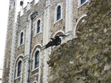 raven at tower of london poster