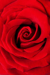 red rose macro background