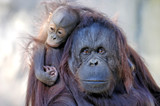 mother and child (orangutan) poster