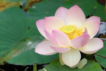 fleur sacrée de lotus