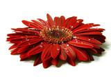 beautiful red gerbera with raindrops poster