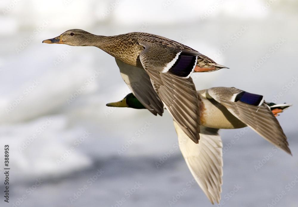 skrzydło ptak ptactwo wodne - powiększenie