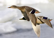 roleta: mallards in flight
