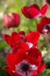 red anemonies - flowers