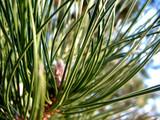pine needles 3 poster