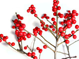 red christmas berries on white 3 poster