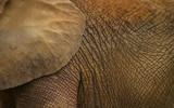 elephant skin poster