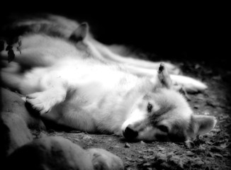 resting wolves