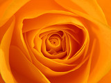 orange rose - Fine Art prints