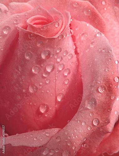 roza-z-kroplami-rosy