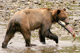 bear catches salmon poster