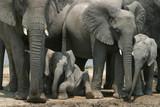 idling baby- elephant poster
