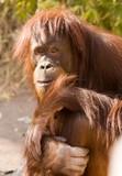 ape poster
