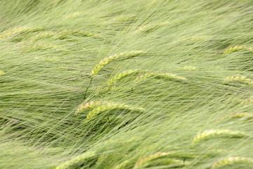 champ de blés.