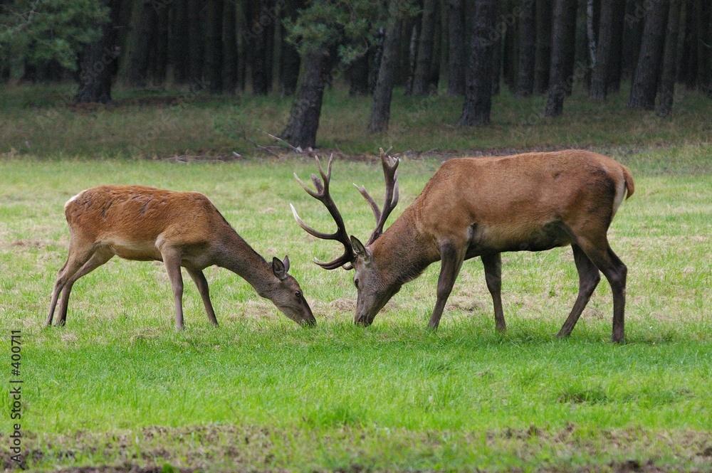 płowej polowanie polowanie - powiększenie