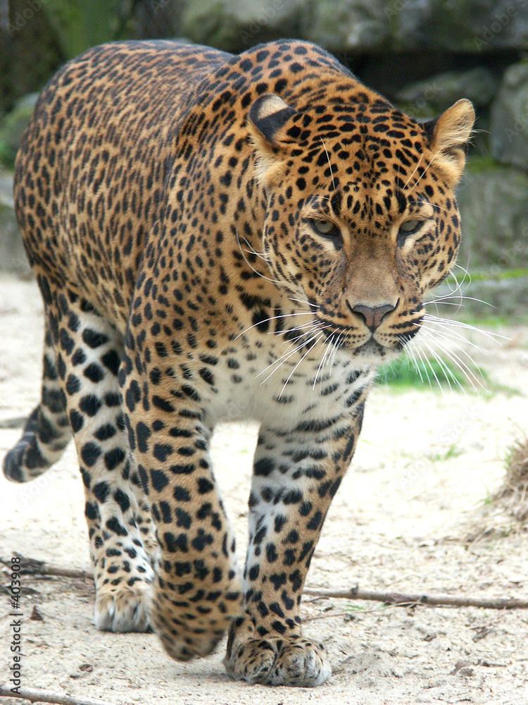 afryka dzikość ssak - powiększenie