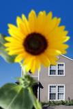 bright sunflower poster