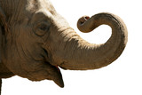 elephant head isolated poster