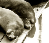 two sea lions sleeping poster