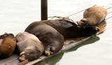 sea lions sleeping poster