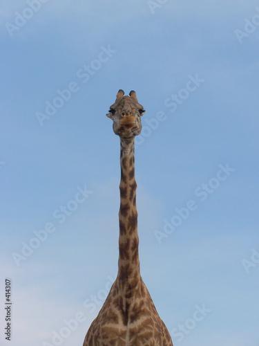 Leinwandbild Motiv portrait de girafe 2