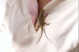 baby bearded dragon poster
