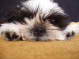 pooped pooch - ten week old shih tzu puppy portra poster