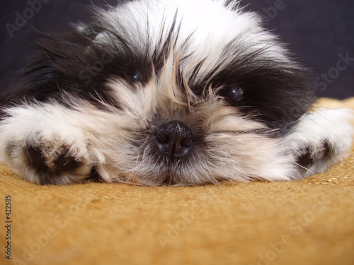 poster of  pooped pooch - ten week old shih tzu puppy portra