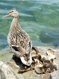 ducks family poster