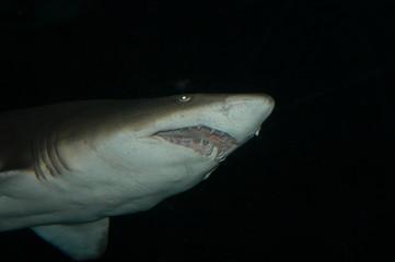 shark in deep water, seaworld park, orlando, flori
