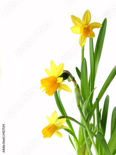 Fotobehang Narcis daffodils on white