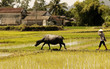 vietnam, halong bay road: water buffalo