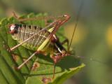 grasshopper eating crops poster