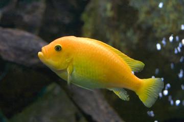 cichlidé jaune 01