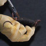 laboratory mouse given intraperitoneal injection 2